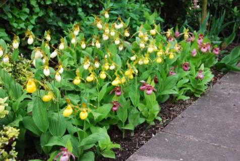 - Tuin orchideeen (Botanical species)