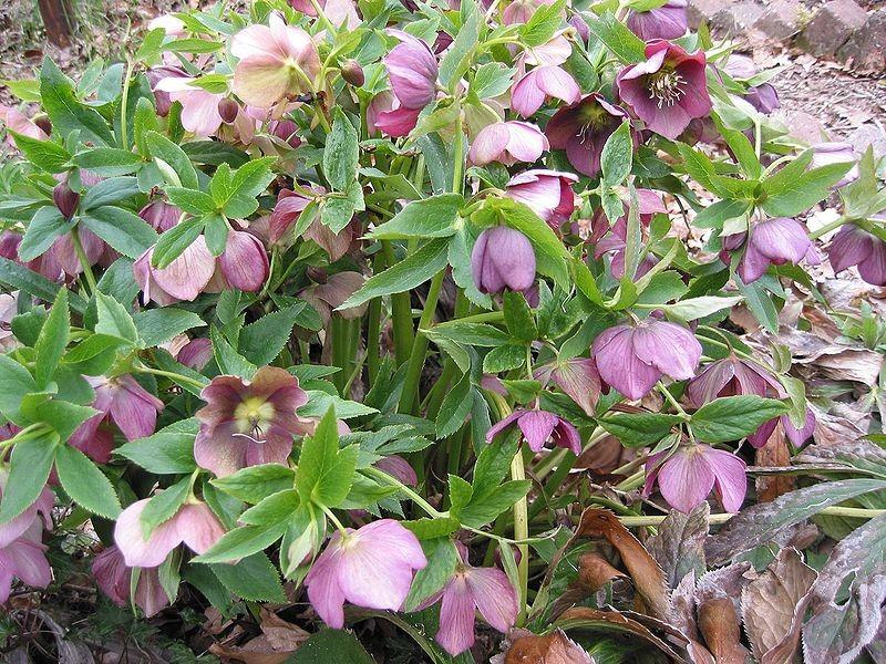 Helleborus hybridus