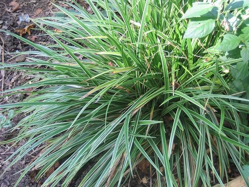 carex morrowii 39 variegata 39 bamboes grassen. Black Bedroom Furniture Sets. Home Design Ideas