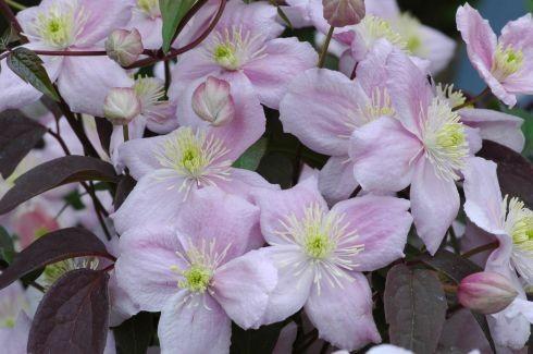 clematis montana 39 mayleen 39 klimplanten. Black Bedroom Furniture Sets. Home Design Ideas