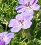 Geranium 'All Summer Joy'®
