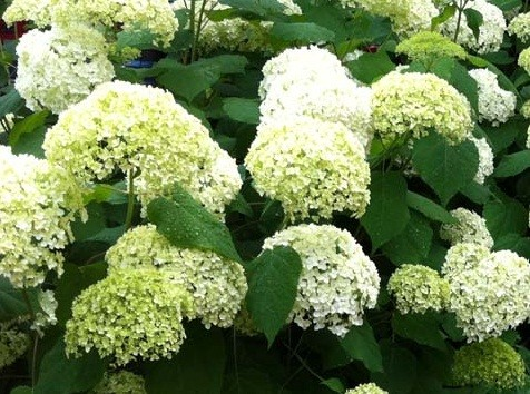hydrangea arborescens 39 annabelle strong 39 aanbiedingen. Black Bedroom Furniture Sets. Home Design Ideas