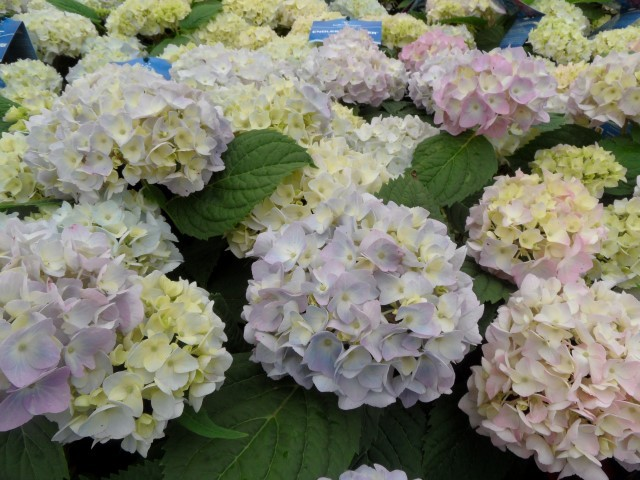 Hydrangea macrophylla Endless Summer (Blauw)