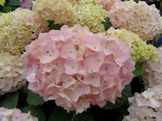 Hydrangea macrophylla Endless Summer (roze)