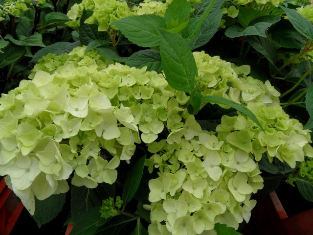 Hydrangea macrophylla Endless Summer 'The Bride'