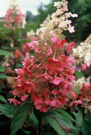 hydrangea paniculata 39 pinky winky 39 aanbiedingen. Black Bedroom Furniture Sets. Home Design Ideas
