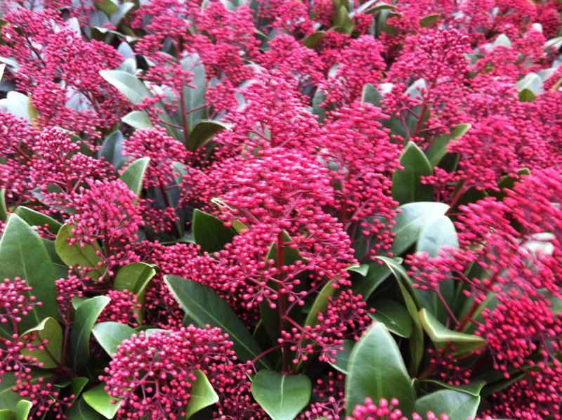Dubbelklik op de afbeelding voor groot formaat: plantenbestel.nl/aanbiedingen/skimmia-japonica-rubella.html