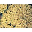Achillea millefolium 'Hoffnung'