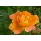 Rosa 'Rumba'