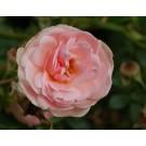 Rosa 'Lovely Meidiland'