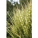 Miscanthus sinensis 'Gold Bar'
