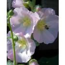 Alcea ficifolia