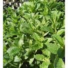 Mentha spicata 'Crispa'