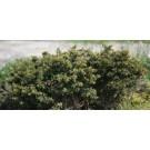 Picea abies 'Little Gem'