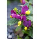 Polygala chamaebuxus 'Purple Passion'