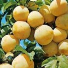 Prunus 'Reine Claude d'Oullins'