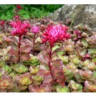 Sedum spurium 'Purpurteppich'