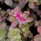Sedum spurium 'Schorbuser Blut'