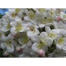 Viburnum burkwoodii 'Burkwood'