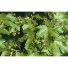 Acer campestre(Lei/vorm)