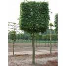Acer campestre 'Elsrijk' (lei/vorm)