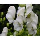 Aconitum 'Eleonara'