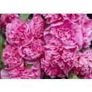Alcea rosea 'Pleniflora' rose