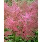 Astilbe 'Inshriach Pink'