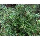 Berberis gagnepainii lanceifolia
