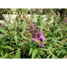 Buddleja BUZZ 'Pink Purple'
