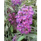 Buddleja davidii 'Nanho Purple'