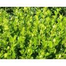 Buxus microphylla 'Faulkner'