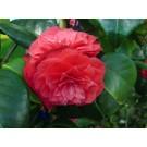 Camellia Japonica 'Principessa Baciocchi'