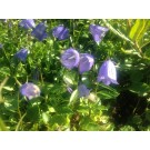 Campanula cochlearifolia 'Baby Blue'