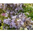 Campanula lactiflora 'Prichard Variety'