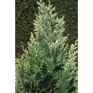 Chamaecyparis lawsoniana 'White Spot'