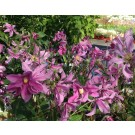 Clematis 'Sweetheart'
