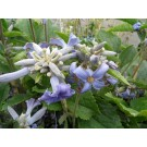 Clematis 'Wyevale
