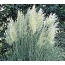 Cortaderia selloana 'Senior'