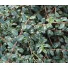 Cotoneaster suecicus 'Skogholm'