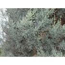 Cupressus arizonica 'Glauca'