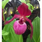 Cypripedium Kentucky Pink