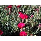 Dianthus gratianopolitanus 'Bombardier'