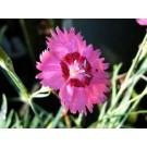Dianthus deltoides 'Roodkapje'