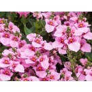 Diascia 'Juliet Pink'