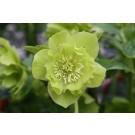 Helleborus 'Double Ellen' Green