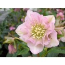 Helleborus 'Double Ellen' Pink