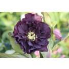 Helleborus 'Double Ellen' Purple