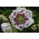 Helleborus 'Double Ellen' Mix