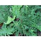 Dryopteris affinis' Congesta Cristata'